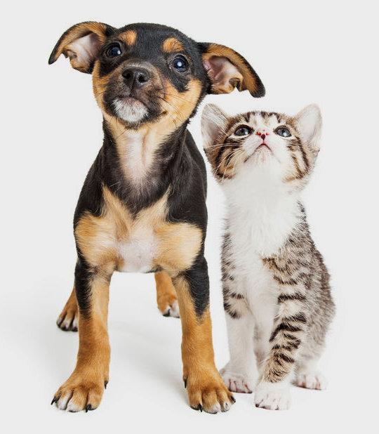 dier adopteren